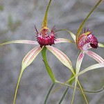 Carousel Spider Orchid