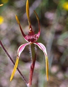 Reaching Spider Orchid