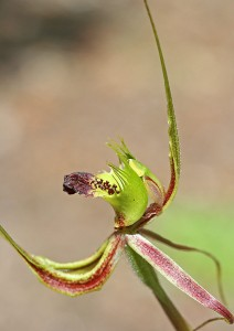 Forest Mantis Orchid