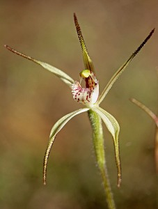 Limestone Spider Orchid