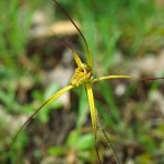Cape Spider Orchid