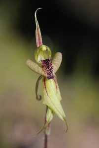 Crested Spider Orchid
