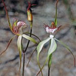Reclining Spider Orchid