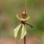 Purple-veined Spider Orchid