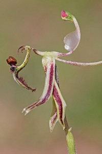 Hinged Dragon Orchid