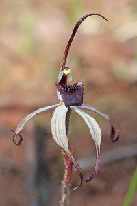 Winter Spider Orchid