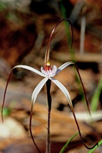 Moora Spider Orchid