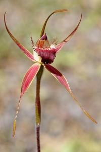 Rusty Spider Orchid