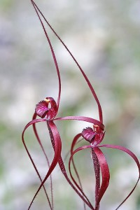 Blood Spider Orchid