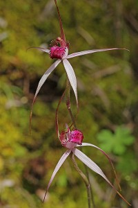 Cherry Spider Orchid