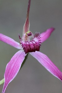 Pink Spider Orchid