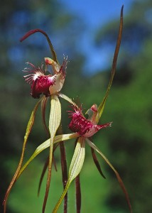 Heberle's Spider Orchid