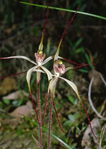 Dwarf Common Spider Orchid
