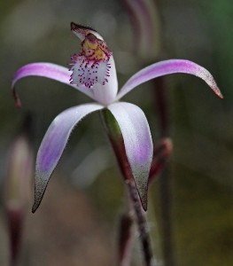 Pink Candy Orchid