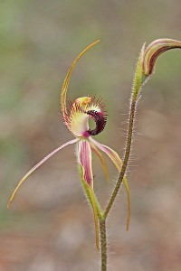 Hoffman's Spider Orchid