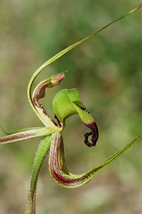 Smooth-lipped Spider Orchid