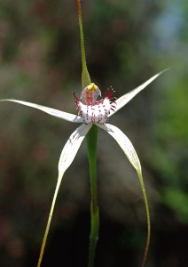Lodge' Spider Orchid