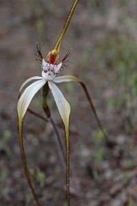 Small-lipped Spider Orchid