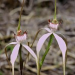 Southern White Spider Orchid