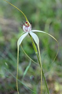 Daddy-long-legs Spider Orchid