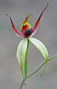 Leaping Spider Orchid