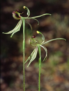 Narrow-lipped Dragon Orchid