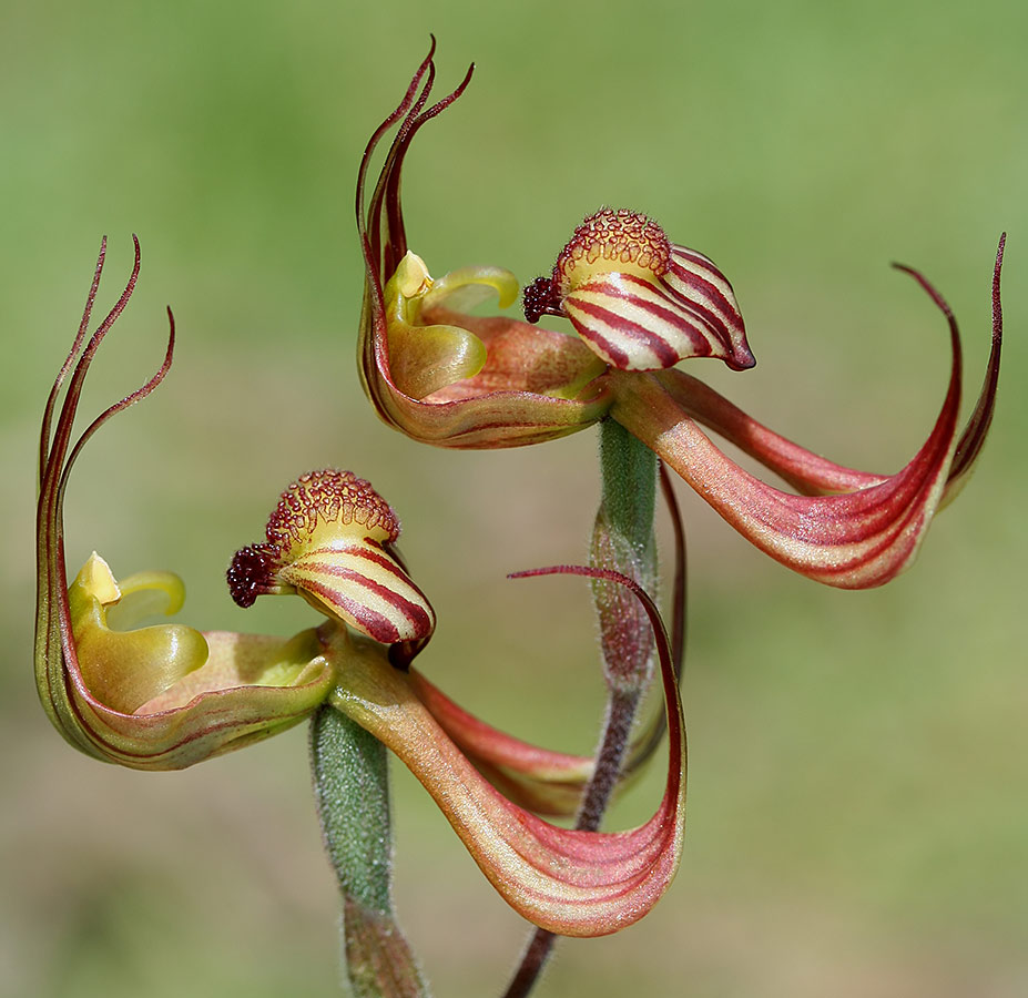 Lazy Spider Orchid