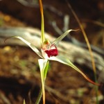 Exotic Spider Orchid