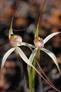 Rock Spider Orchid
