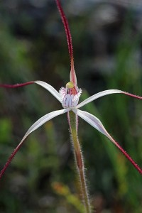 Dark-tipped Spider Orchid