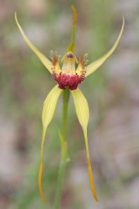 Carbunup King Spider Orchid