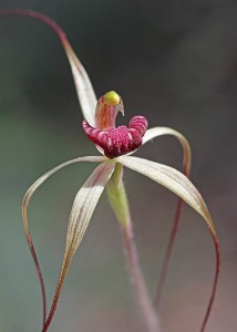 Drooping Spider Orchid
