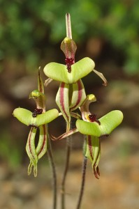 Clown Orchid