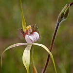 Christmas Spider Orchid