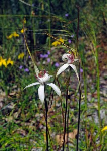 Sandplain White Spider Orchid