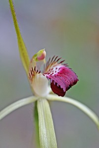 Darting Spider Orchid