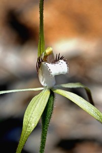 Northern Darting Spider Orchid
