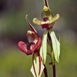 Mohawk Spider Orchid