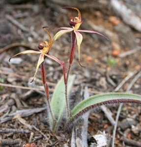 William's Spider Orchid