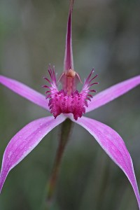Majestic Spider Orchid