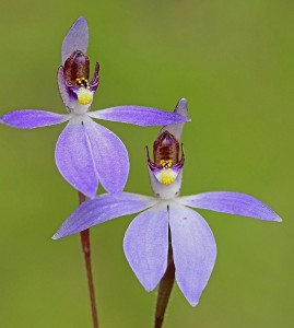 Western Tiny Blue Orchid