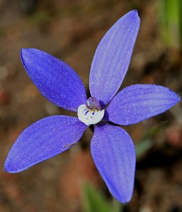 Blue China Orchid