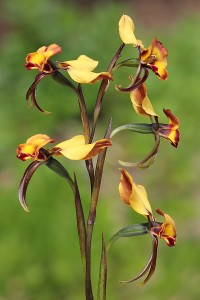 Common Donkey Orchid