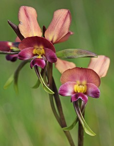 Diuris jonesii