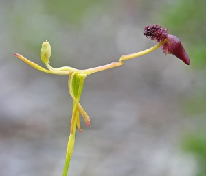 Glossy-leafed Hammer Orchid