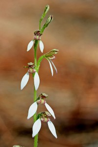 Common Bunny Orchid