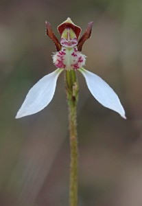 Crinkle-leafed Bunny Orchid