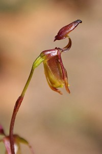 Brockman's Duck Orchid