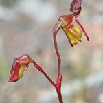 Hort's Duck Orchid