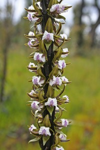 Fringed Leek Orchid